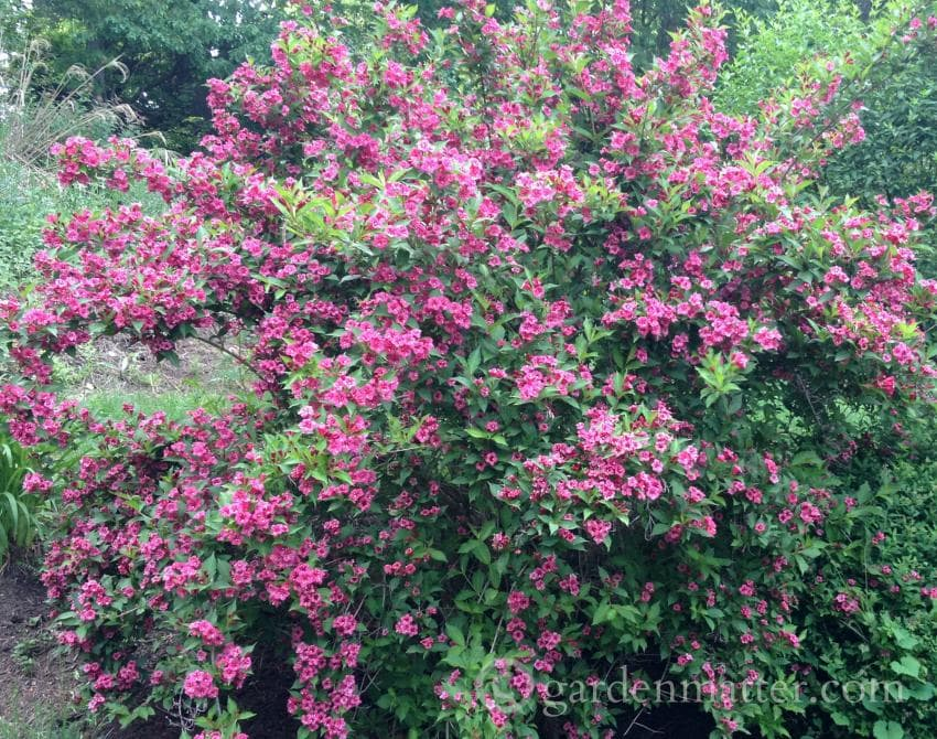Wegelia in bloom ~ 5 Must Have Shrubs ~ gardenmatter.com