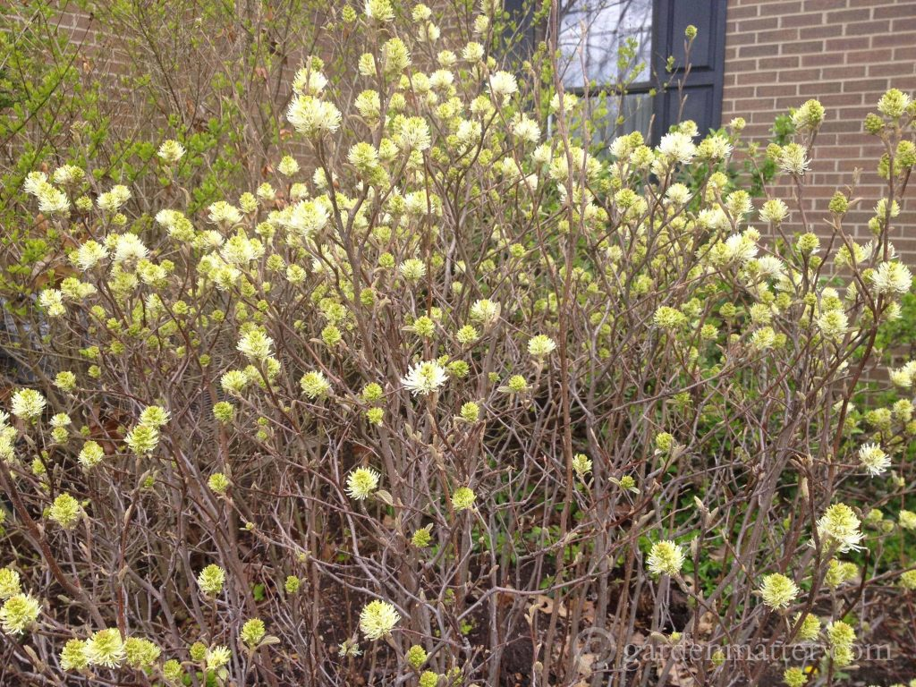 Fothergilla major ~ 5 Must Have Shrubs ~ gardenmatter.com