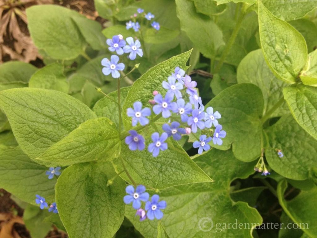 Brunnera macrophylla - False Forget-me-not