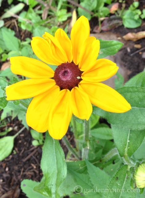 Rudbeckia hirta 'Indian Summer'