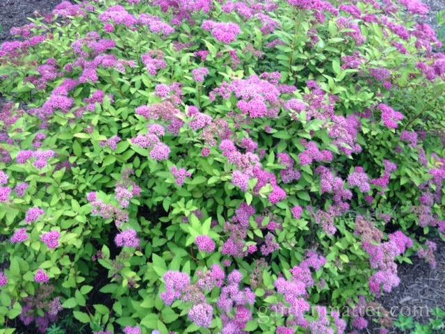 Spirea japonica in bloom ~ 5 Must Have Shrubs ~ gardenmatter.com
