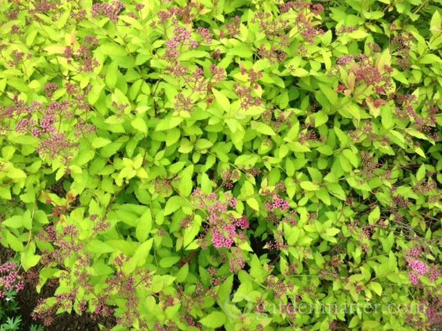 Spiraea x bumalda 'Goldflame' ~ 5 Must Have Shrubs ~ gardenmatter.com