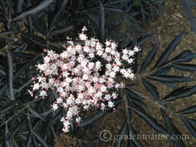 Sambucus nigra Black Lace bloom