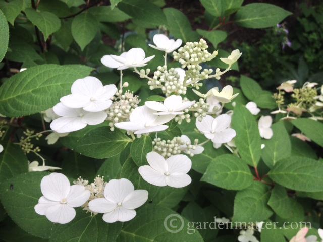 Hydrangea Paniculata Chantilly Lace