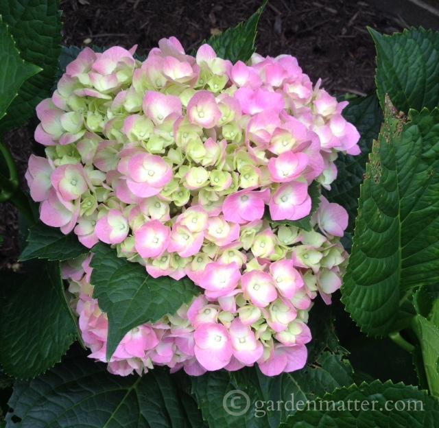 Hydrangea Macrophylla - Cityline™