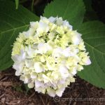 H Macrophylla 'Endless Summer'