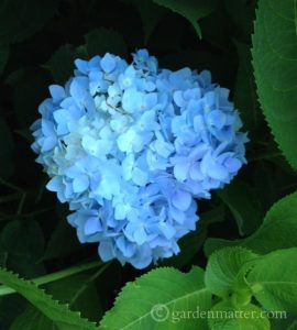 H Macrophylla 'Endless Summer'