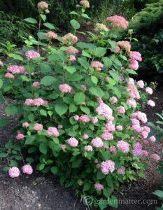 H. arborescens 'Invincibelle Spirit'