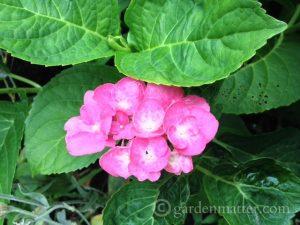Hydrangea macrophylla 'Early Sensation'