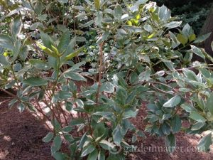 H. macrophylla Mariesii variegata