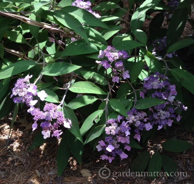 Hydrangea chinensis
