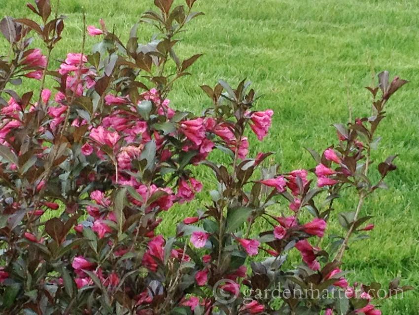 wegelia wine and roses