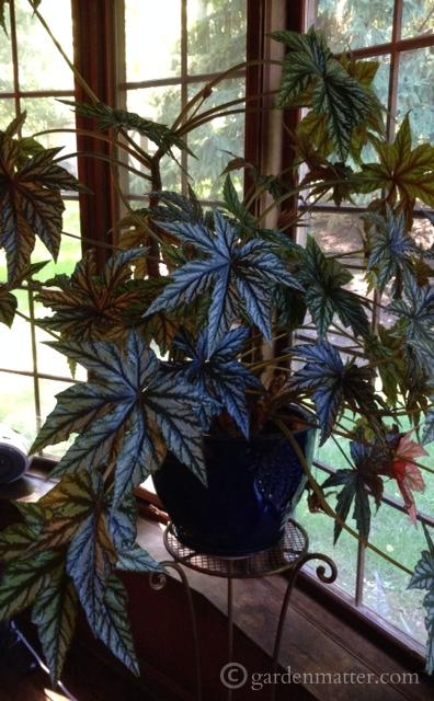 Learn about a couple of great Begonias that are easy to grow indoors. ~ gardenmatter.com