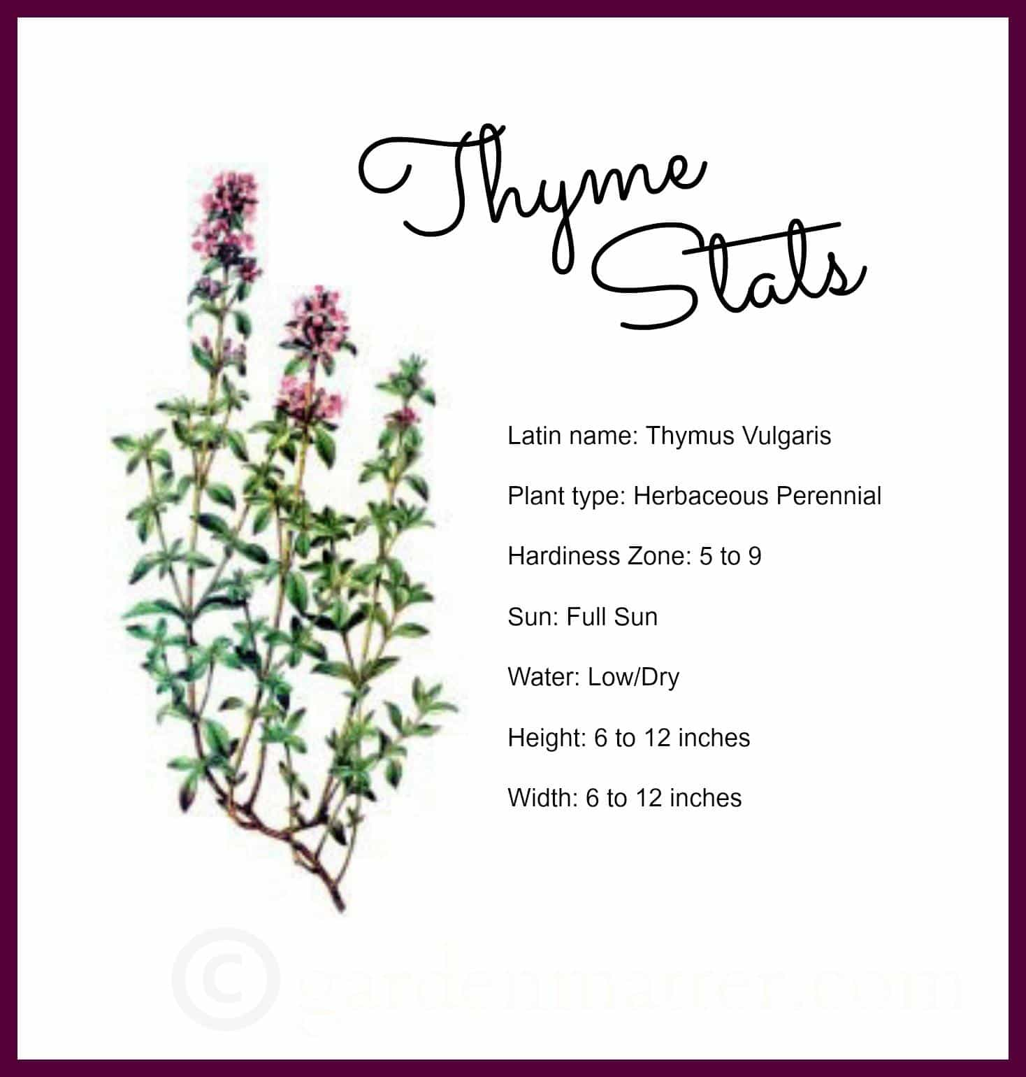 Thyme stats