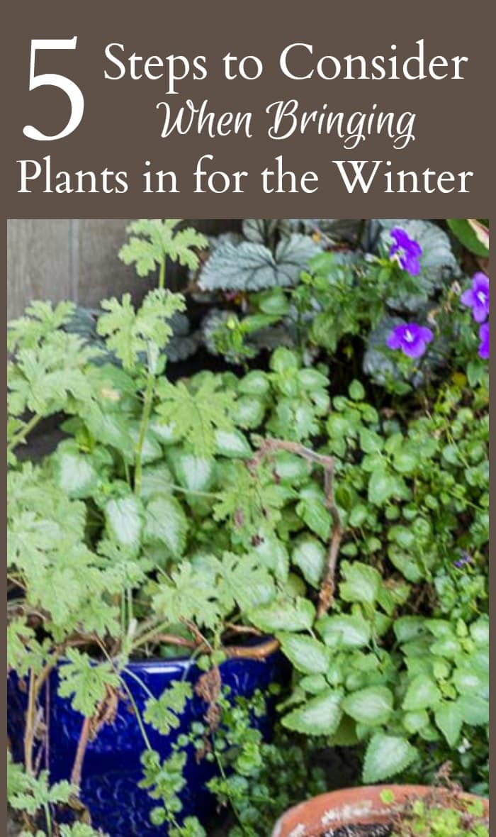 Many plants can be brought inside for the winter. Here are 5 basic tips to consider when bringing plants inside during the cold winters months.