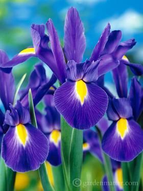 Dutch Iris Blue Ribbon
