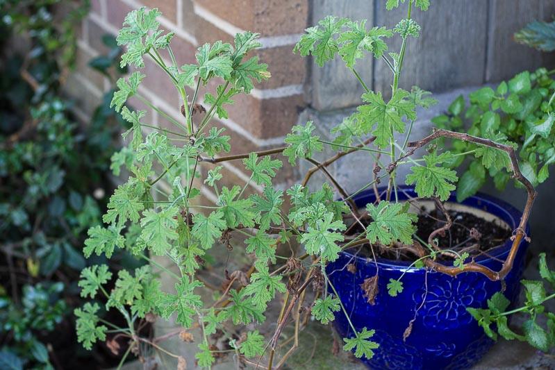 leggy-scented-geranium