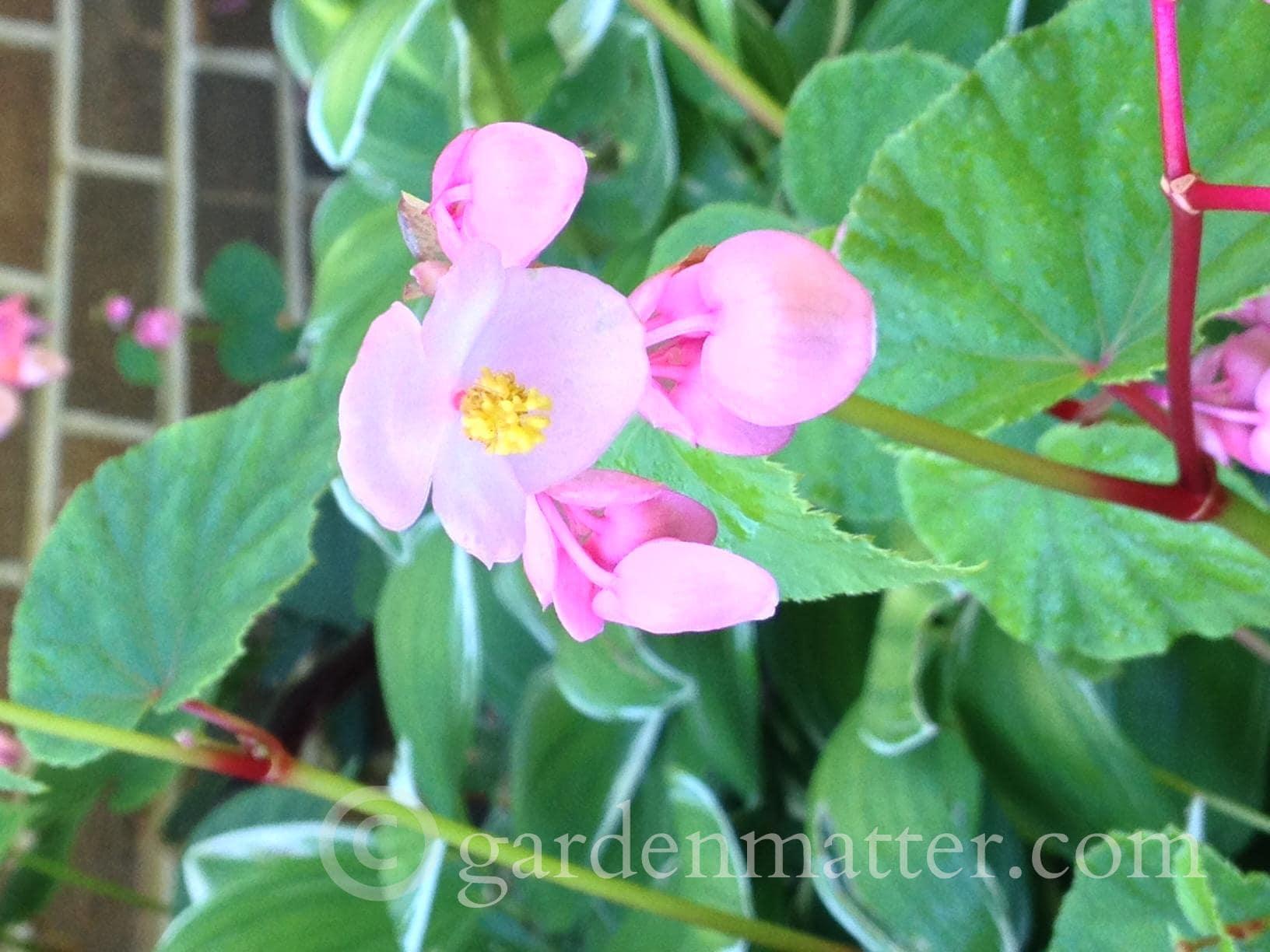 Begonia grandis flowers