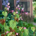 Begonia grandis growing in the back of house