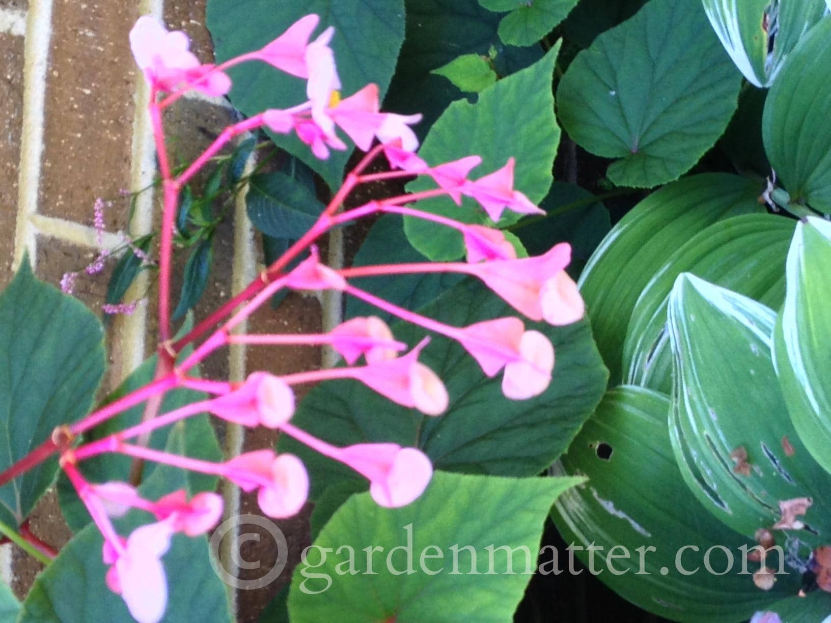 Begonia grandis seed heads