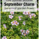 A patch of Anemone September Charm in the garden.