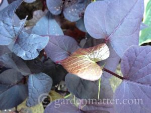 Perilla, Sweet Potato, Coleus