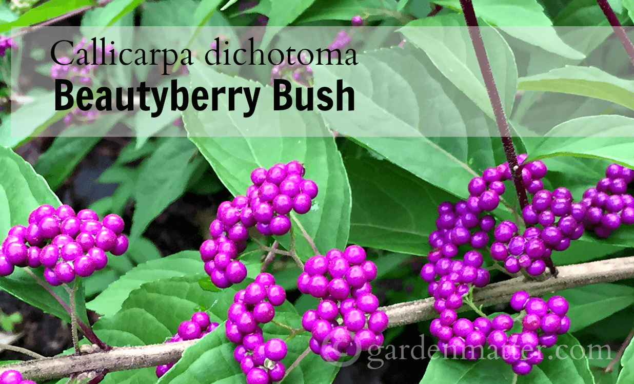 A Must Have In The Garden Callicarpa Beautyberry Bush