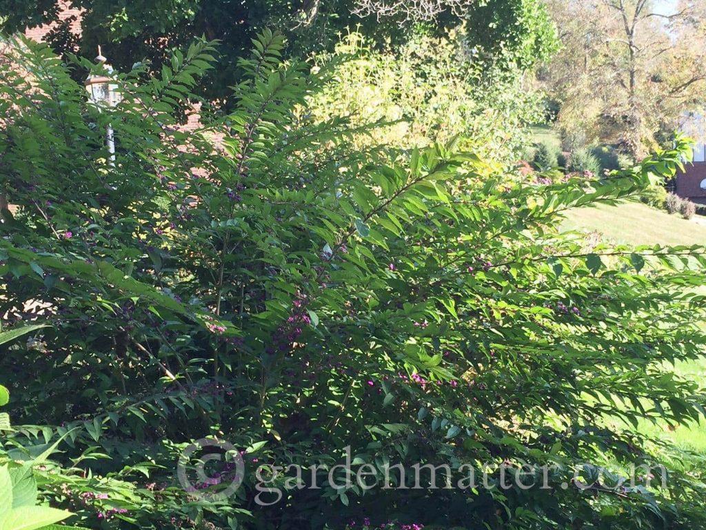 Beautyberry Bush - full size ~ 5 Must Have Shrubs ~ gardenmatter.com