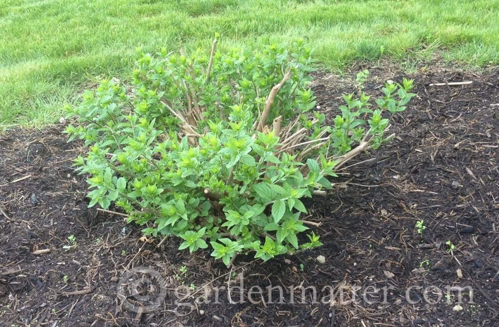 Beautyberry in May ~ gardenmatter.com