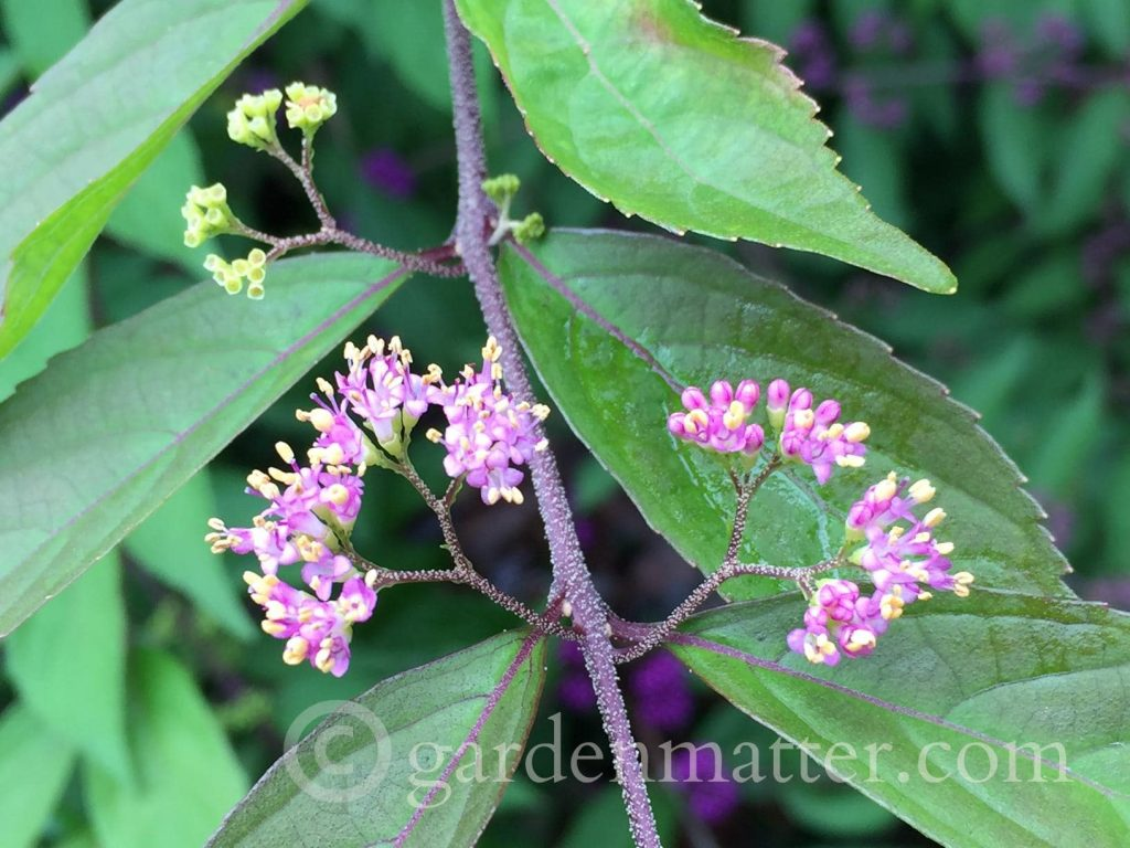 Beautyberry Bush - flowers ~ 5 Must Have Shrubs ~ gardenmatter.com