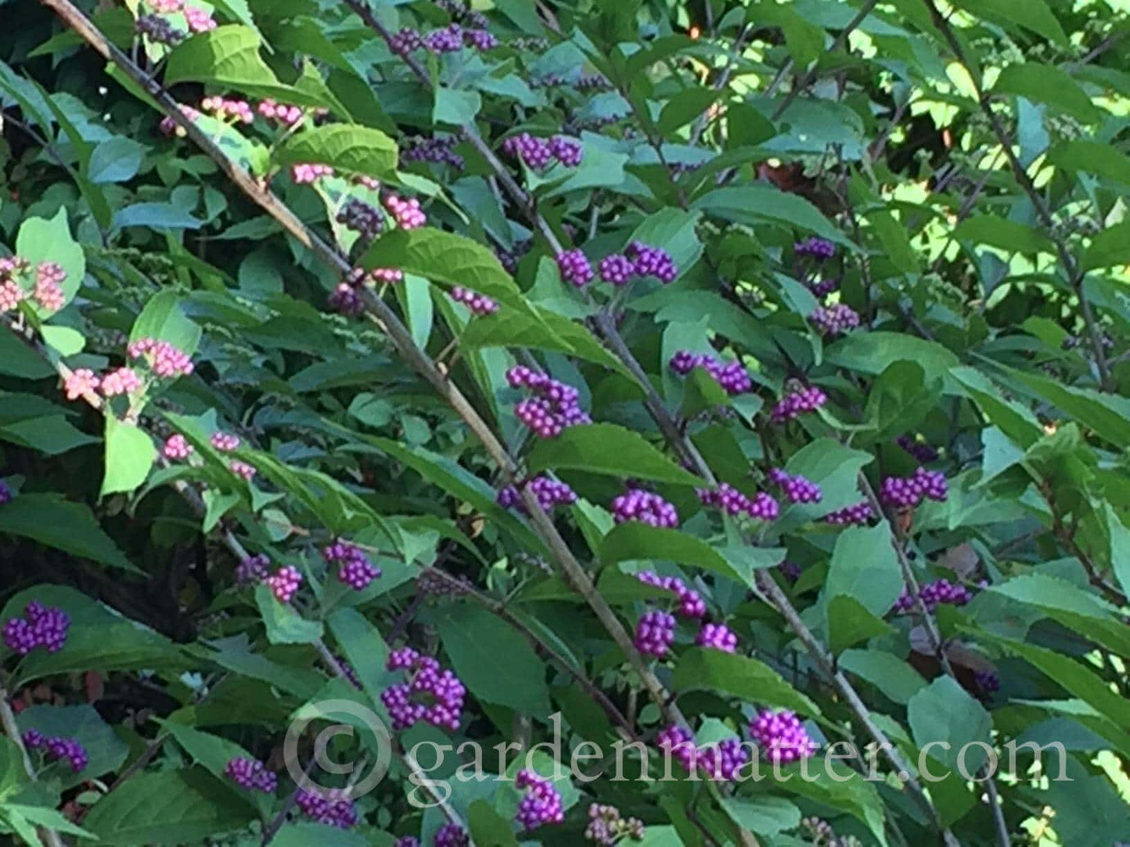Beautyberry Bush