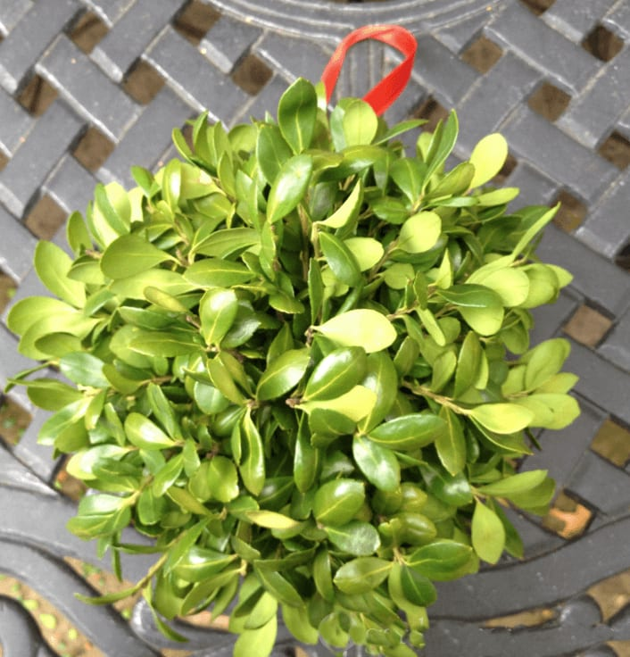 Boxwood kissing ball