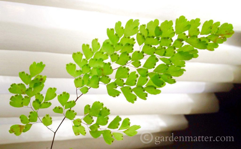 The maidenhair fern is a great choice for indoor gardening. The most interesting fact is its ability to bounce back from the dead.