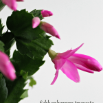Another Holiday Bloomer: The Christmas Cactus