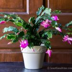Christmas Cactus: Another Holiday Bloomer You'll Want to Grow