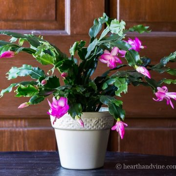 Christmas cactus vs pointed teeth of S. truncata - Thanksgiving cactus