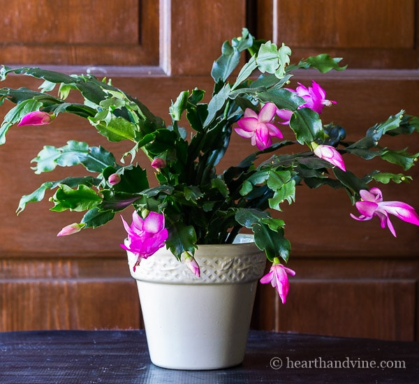 Christmas Cactus: Another Holiday Bloomer