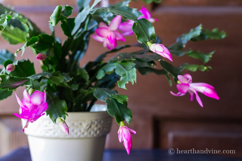 Learn about this beautiful blooming holiday houseplant and how to tell difference between the Thanksgiving and the Christmas cactus.