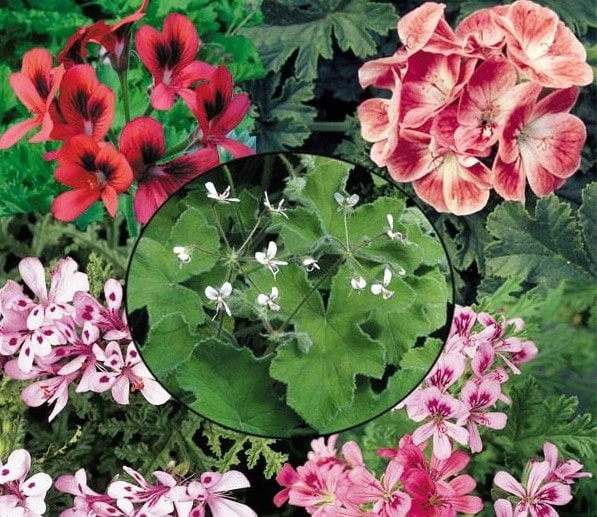 Logees Scented Geranium collection