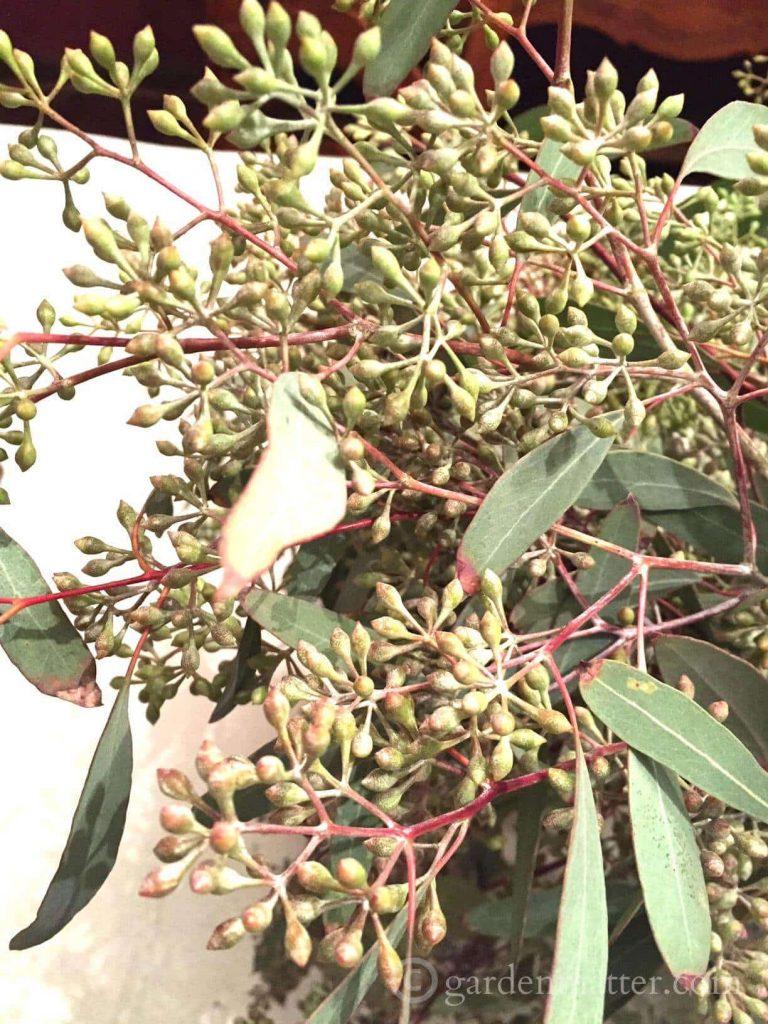 seeded eucalyptus close-up