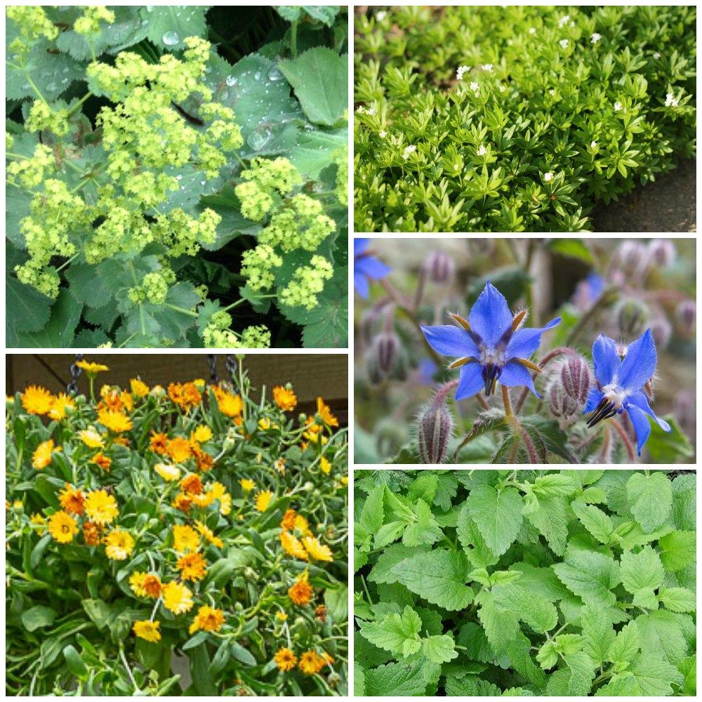 Five unusual herbs to grow