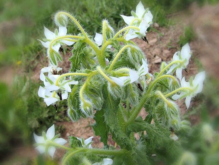 Borage (white) - an easy annual herb ~ gardenmatter.com