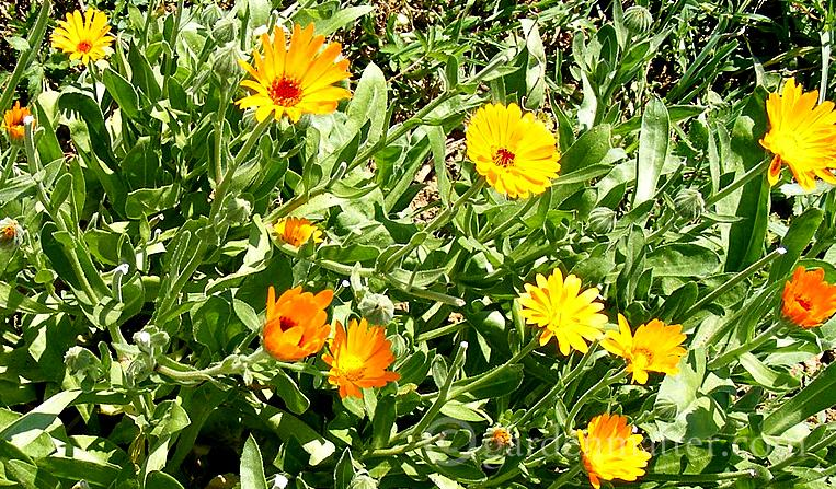 Calendula - an easy annual herb to grow ~ gardenmatter.com