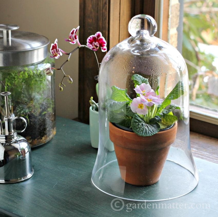 Cloche covered primrose - Beauty & benefits of glass for indoor gardening. ~ gardenmatter.com