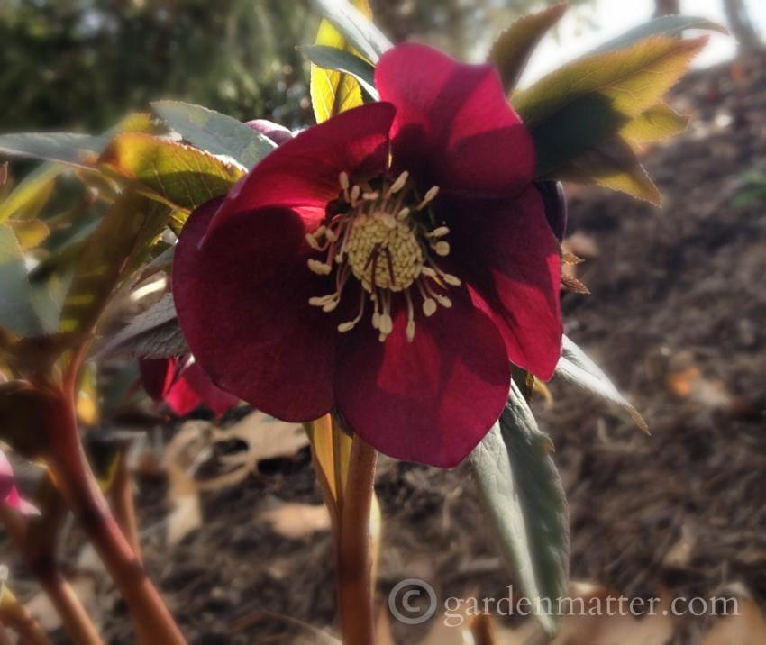 Dark Hellebore Hybrid ~ Lenten Rose ~gardenmatter.com