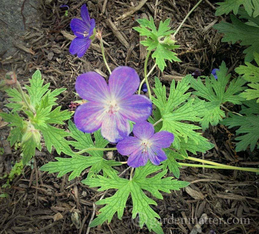 Geranium 'Johnson's Blue' ~ gardenmatter.com
