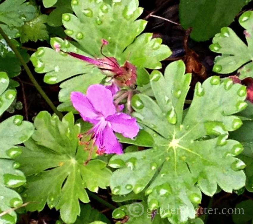 Geranium cantabrigiense 'Karmina' ~ gardenmatter.com
