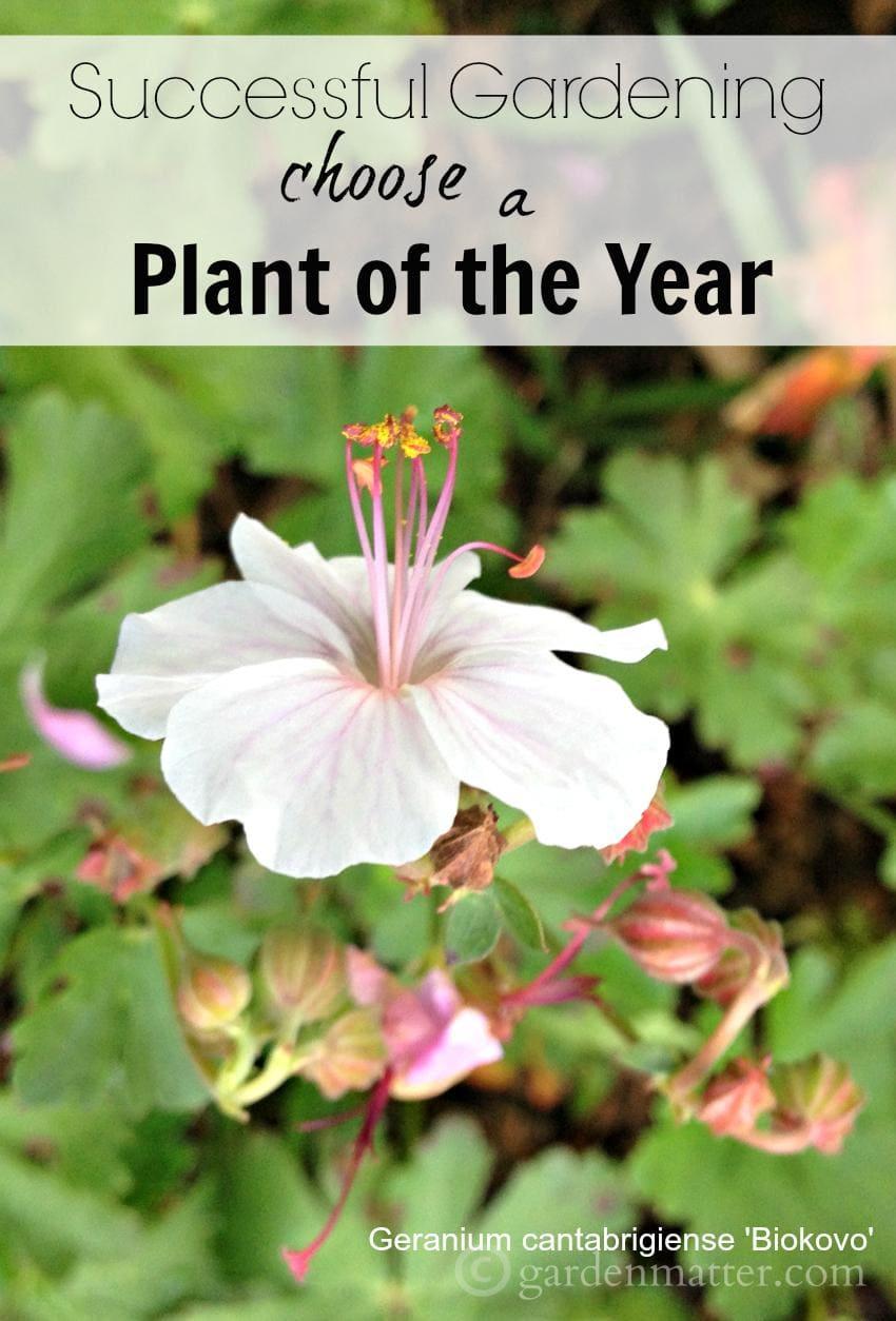 cantabrigiense Biokovo ~ gardenmatter.com