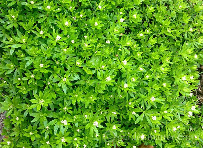 Sweet Woodruff - an easy perennial herb ~ gardenmatter.com