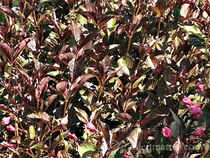 Weigela Wine & Roses ~ gardenmatter.com